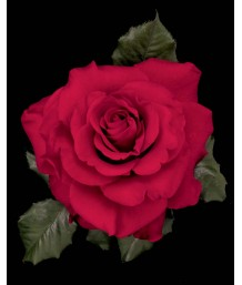 Rosa 'In the Mood' STD