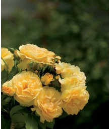 Rosa 'Julia Child' STD