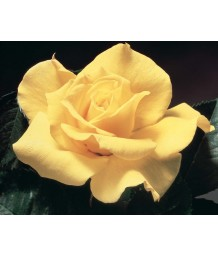 Rosa 'Midas Touch' STD