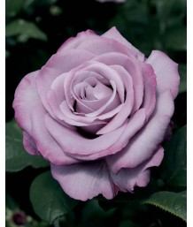 Rosa 'Neptune' STD