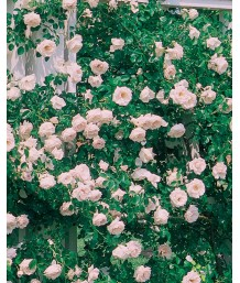 Rosa 'New Dawn' CL