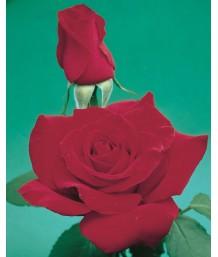 Rosa 'Olympiad'