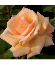 Rosa 'Over The Moon'
