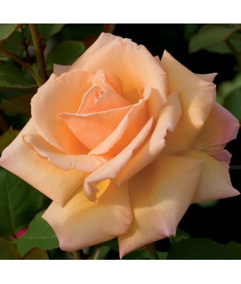 Rosa 'Over The Moon' STD