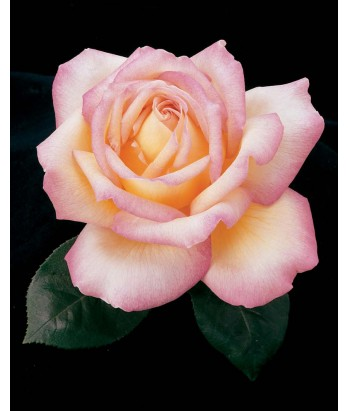 Rosa 'Peace' STD