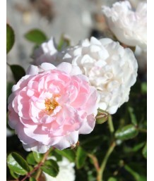 Rosa prostrata 'White'