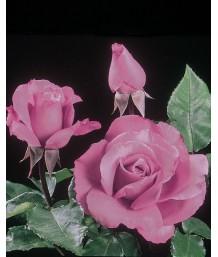 Rosa 'Royal Amethyst'