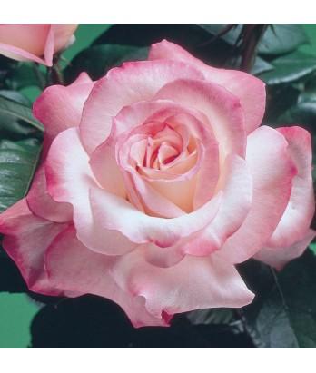 Rosa 'Secret'