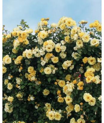 Rosa 'Sky's the Limit' CL