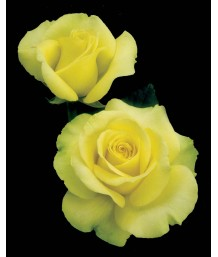 Rosa 'St. Patrick'