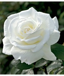 Rosa 'Sugar Moon'