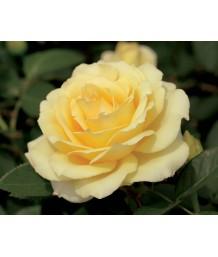 Rosa 'Summer Love' STD