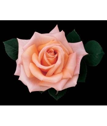 Rosa 'Sunset Celebration' STD
