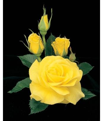 Rosa 'Sunsprite'