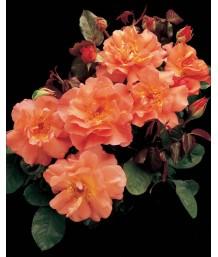 Rosa 'Westerland' CL