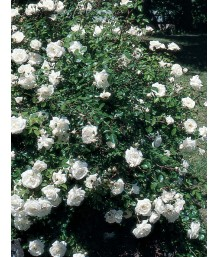 Rosa White Dawn CL