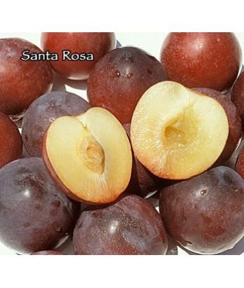 Fruit Plum Santa Rosa