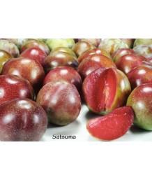 Fruit Plum Satsuma