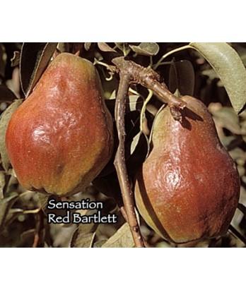 Fruit Pear Bartlett Sensation Red