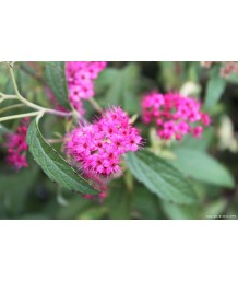 Spiraea japonica 'Anthony Waterer'