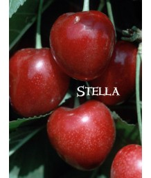 Fruit Cherry Stella