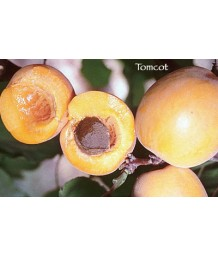 Fruit Apricot Tomcot