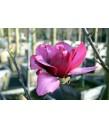 Magnolia x 'Vulcan'