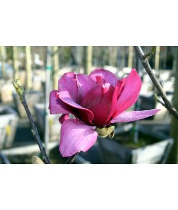 Magnolia x Vulcan