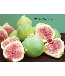 Fruit Fig Genoa