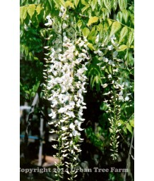 Wisteria floribunda 'Long-Alba' STD