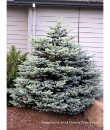 Picea p. Montgomery