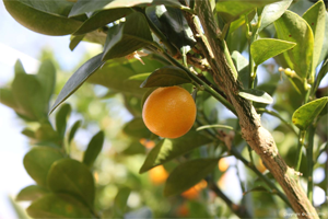 Find citrus trees at Urban Tree Farm Nursery in Santa Rosa, CA