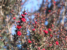 Leptospermum s. Ruby Glow is a good evergreen screen growing to over 8 feet tall.