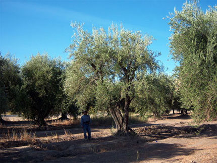 Large specimen conifer and olive trees at Urban Tree Farm Nursery