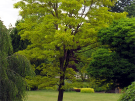 Robinia p. Frisia is tree that will survive in lawns.