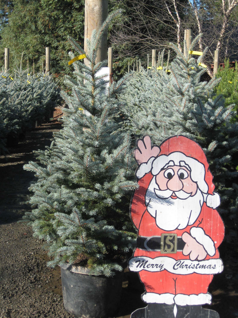 Live Christmas Trees At Urban Tree Farm Nursery.