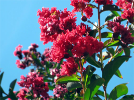 Lagerstroemia i. Red Rocket is a good choice for small gardens.