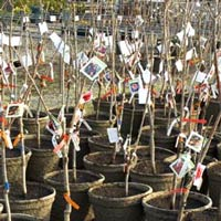 Special Order Fruit Tree Program