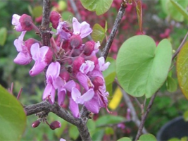 Chose Cercis occidentalis or Western Redbud for spring flowers.