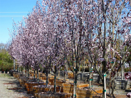 Plant and tree recommendations to suite specific needs by Urban Tree Farm Nursery
