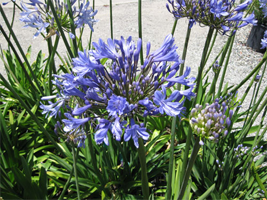 Agapanthus or Lily of the Nile enjoys wet areas.
